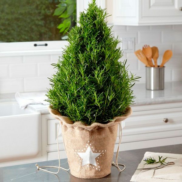 Декоративная живая елка в горшочке