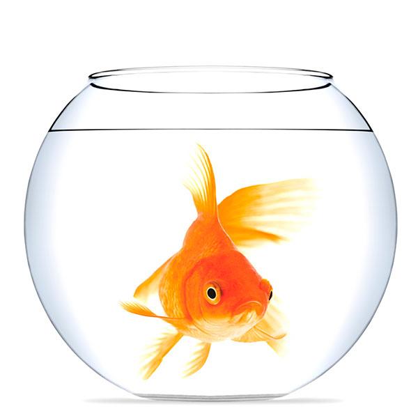 Аквариум с «золотой рыбкой»