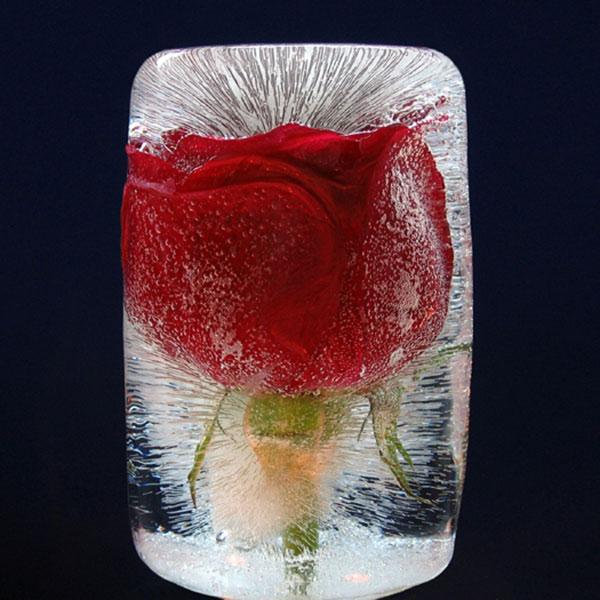Роза, помещенная внутрь глыбы льда