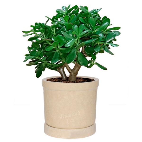 Денежное дерево в интересном горшке